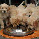 golden-retriever-puppy-Pet Lovers