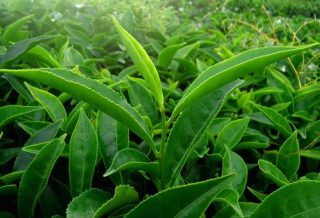 What Is Green Tea And How It Is Produced