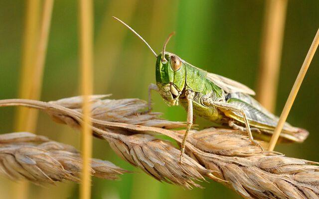 Locusts attack in India